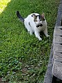 European housecat with mouse in mouth.jpg
