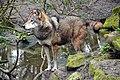 Europese wolf (16869445148).jpg
