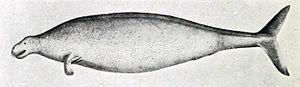 Georg Wilhelm Steller - 245 px