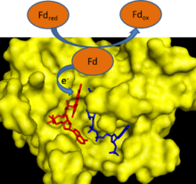 Cartoon depicting ferredoxin transferring an electron to FNR.