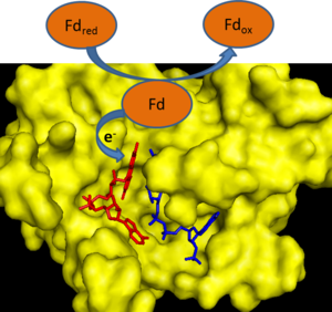 Ferredoxin—NADP(+) reductase - Image: FNR3