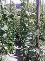 Fabales - Phaseolus vulgaris - 2.jpg
