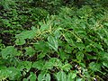 False Nettle (2884559637).jpg