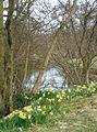 Farndale Daffodils - geograph.org.uk - 339870.jpg
