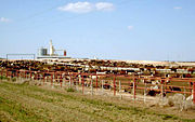 Cattle - especially when kept on enormous feedlots such as this one - have been shown as a contributing factor in the rise in greenhouse gas emissions.