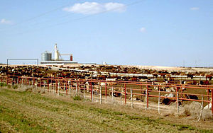 "Animal feed - A photo of a feedlot in Texas, USA, where cattle are ""finished"" (fattened on grains) prior to slaughter."