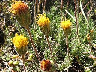 <i>Felicia macrorrhiza</i> A shrublet in the daisy family from South Africa