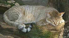 Felis Silvestris Wikipedia