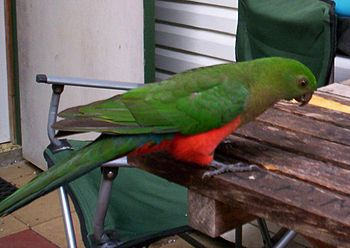 English: A female Australian King Parrot Categ...