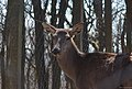 Female Red Deer (207964475).jpeg