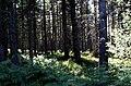 Femnock Wood - geograph.org.uk - 92486.jpg