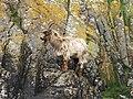Feral Goat on Island Davaar. - geograph.org.uk - 244095.jpg