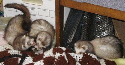 Ferrets at play.jpg