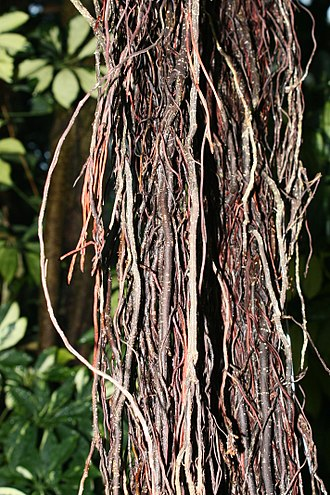 Ficus - Aerial roots that may eventually provide structural support
