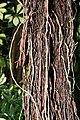 Ficus-AerialRoot.jpg
