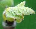 Ficus carica 'Celeste' bud closeup.jpg