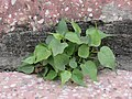 Ficus religiosa (Peepal tree) grow on a bare wall.jpg