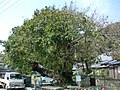 Ficus superba Goshoura Makishima.JPG