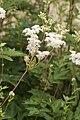 Filipendula ulmaria fresnes-au-mont 55 05072008 03.jpg