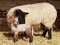 First Lamb 2008.jpg
