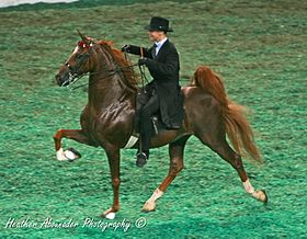 American Saddlebred pratiquant le rack.
