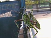 Five legged grasshopper.jpg