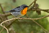 Flame-throated Warble.jpg