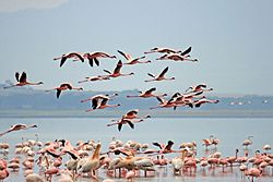 Mindre flamingo i Lake Nakuru National Park i Kenya