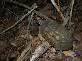 Flat-backed Spider Tortoise, Kirindy, Madagascar.jpg