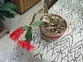 """Fleur de """"rose de Noël"""" à Grez-Doiceau 001.jpg"""
