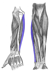 Flexor carpi ulnaris.png