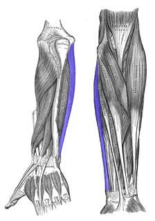Flexor carpi ulnaris muscle