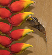 Flickr - Dario Sanches - RABO-BRANCO-ACANELADO (Phaethornis pretrei )