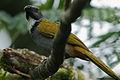Flickr - Rainbirder - Black-headed Saltator (Saltator atriceps) (1).jpg