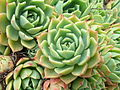 Flickr - brewbooks - Echeveria Crassulaceae (2).jpg