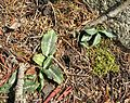 Flickr - brewbooks - Rattlesnake Plantain (I think).jpg