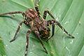 Flickr - ggallice - Infested spider.jpg