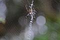Flickr - ggallice - Orb-weaver spider.jpg