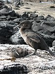 Flightless cormorant (Phalacrocorax harrisi) with chick.jpg