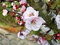 Flor de Alperceiro (300456585).jpg