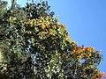 Flor de São João (Pyrostegia venusta) na margem da Rodovia Washington Luís - SP-310 - panoramio.jpg