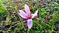 Flor de azafrán.jpg