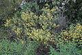 Flora della Sardegna 219 (02).JPG
