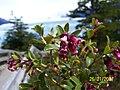 Flora en Perito Moreno - panoramio.jpg