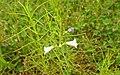 Flora from Madayipara DSCN2619.jpg