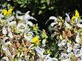 Flores en el Jardín Botánico de Viña del Mar 05.JPG