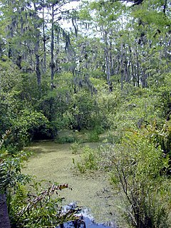 Swamp A forested wetland