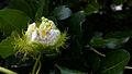Flower Ammoomma pazham 07082011019.JPG