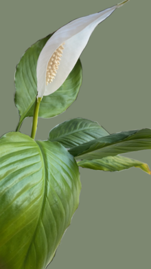 Flower and Laeves of Spathiphyllum.png
