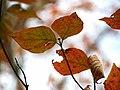 Flowering Dogwood (30877331052).jpg